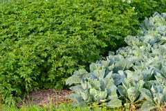 Vegetable garden. Potatoes and cabbage growing in ecological home garden Royalty Free Stock Photo