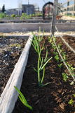 Vegetable garden: raised bed with onions. Allotment vegetable garden raised bed with onions and row of seedlings Stock Photo
