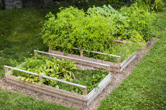 Vegetable garden in raised boxes. Three raised garden beds growing fresh vegetables in a backyard Royalty Free Stock Images