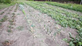 Vegetable garden recorded from above. various vegetables stock video