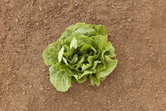 Vegetable Garden Romaine Lettuce Royalty Free Stock Image