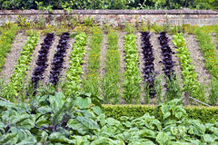 Vegetable garden with young greens on a slope Stock Images