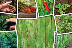 Vegetable gardening and growth, photo collage Royalty Free Stock Image