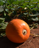 Vegetable giant pumpkin Stock Photo