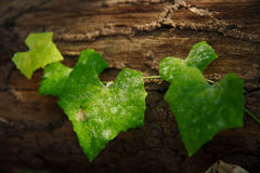 Vegetable green Royalty Free Stock Photo