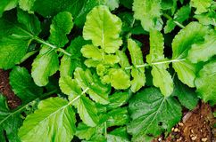 Vegetable. The green vegetables in the garden is fresh Stock Photo