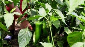 Vegetable greenhouse stock video