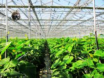 Vegetable greenhouses in Agricultural Park. Greenhouse vegetable growing in agricultural park Royalty Free Stock Photos