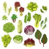 Vegetable greens, salad leaf, herbs watercolor set. Vegetable greens, salad leaf and herbs watercolor illustration set. Fresh leaf lettuce, spinach, arugula Stock Photos