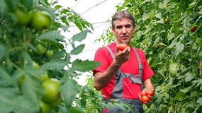 Vegetable Grower in Greenhouse. Portrait of a farmer with ripe, red tomatoes in his hand Stock Photo