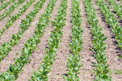 Vegetable growing Stock Photography