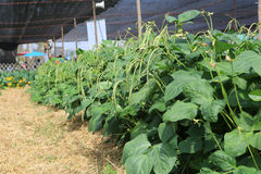 Vegetable growing in a home garden Stock Photography