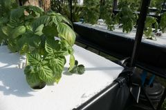 vegetable growing in hydroponics farm with liquid fertilizer sol Royalty Free Stock Photos