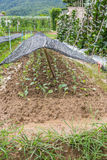 Vegetable growing in a raised vegetable garden Royalty Free Stock Image