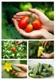 Vegetable harvest Royalty Free Stock Photos