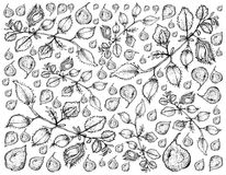 Hand Drawn of Pod of Chick Peas Background Royalty Free Stock Images