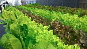 Vegetable Hidroponik Farm. Vegetable Hidroponik planted by KMITL student, Bangkok Stock Photo