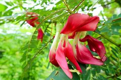 Vegetable Humming Bird Sesban Agasta has red flower. Can eat and use to herb Stock Images