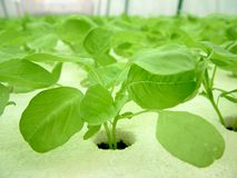 Vegetable, Hydroponics Royalty Free Stock Photos