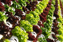 Vegetable hydroponics  Royalty Free Stock Image