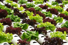 Vegetable hydroponics Stock Photo