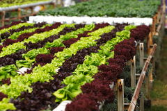 Vegetable hydroponics Royalty Free Stock Photo