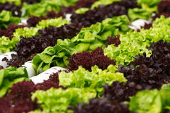 Vegetable hydroponics Royalty Free Stock Photos