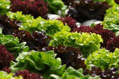 Free Vegetable Hydroponics Stock Photography - 7567872