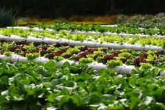 Vegetable hydroponics Stock Image