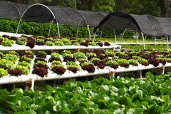 Free Vegetable Hydroponics Stock Photo - 7568100
