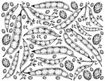 Hand Drawn of Tepary Bean Pods Background Stock Image