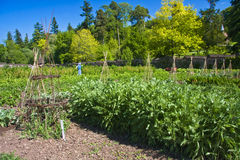Vegetable kitchen garden. Growing your own vegetables and food in the garden allotment Royalty Free Stock Image