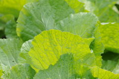 The vegetable leaves Royalty Free Stock Photos