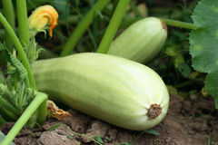 Vegetable marrow. In a garden Royalty Free Stock Images