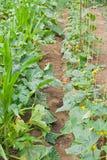 Vegetable marrow bed. In the garden Royalty Free Stock Photos