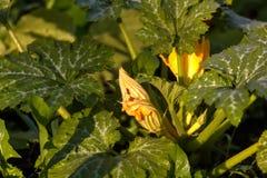 Vegetable marrow flower. Garden plant. Royalty Free Stock Photography