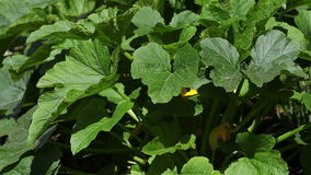 The vegetable marrow stock footage