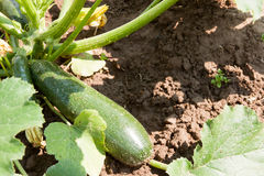 Vegetable marrows grow on a bed on a suburban. Area in a sunny day stock photo