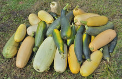 Vegetable marrows 29 Stock Image
