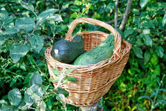 Vegetable marrows in a wattled basket Royalty Free Stock Images
