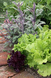 Vegetable mix on garden bed. Vegetable mix plants salad, lettuce, bean and sage on the garden bed Stock Photo