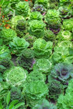 Vegetable patch Royalty Free Stock Photography