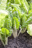 Vegetable patch with beets Royalty Free Stock Images