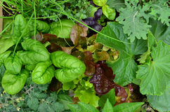 Vegetable patch. A variety of salad vegetables planted in a small space and ready for first harvest Stock Photography