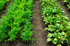 Vegetable patches Royalty Free Stock Images
