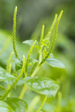 Vegetable pellucida Peperomia Стоковое Изображение RF
