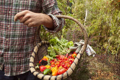 Vegetable picking, fresh vegetables in a basket Royalty Free Stock Images