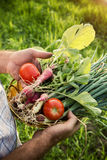 Vegetable picking in a garden Royalty Free Stock Photo