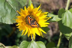 Butterfly-urticaria Aglais urticae sits on a flower of a blooming sunflower. Vegetable plant. Butterfly-urticaria Aglais urticae sits on a flower of a blooming stock images