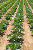 Vegetable plantation Royalty Free Stock Photos